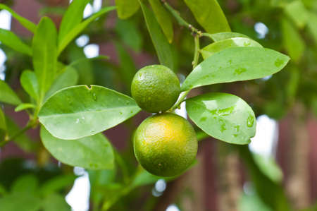fresh Kumquats and leaves hanging on a tree Stock Photo - 13829721