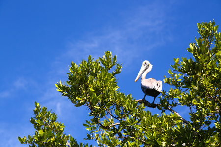 blanch: pelican on a branch Stock Photo
