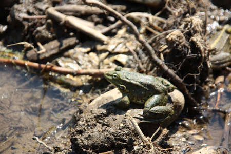 Frog in the mud Stock Photo - 3618244