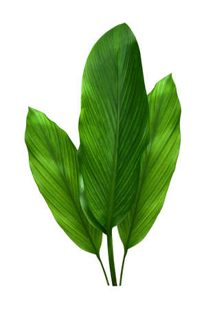 Green leaves of turmeric (Curcuma longa) ginger medicinal herbal plant isolated on white background, clipping path included. HD Image and Large Resolution. can be used as wallpaper Stock fotó