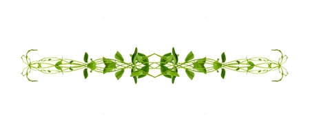 Heart shaped green leaves twisted Binahong plant for herbal medicine isolated on white background with clipping path included Floral Desaign. HD Image and Large Resolution. can be used as wallpaper