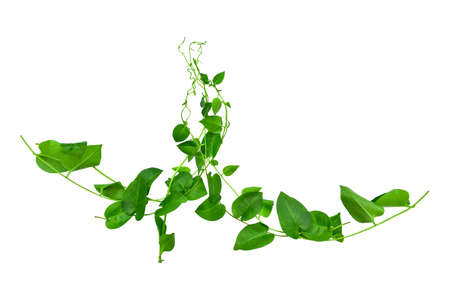 Twisted jungle vines liana plant with heart shaped green leaves isolated on white background. Floral Design. HD Image and Large Resolution. can be used as wallpaper