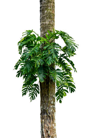 Green leaves  native Monstera (Epipremnum pinnatum) liana plant growing in wild climbing on jungle tree, tropical forest plant evergreen vines bush  on white background 版權商用圖片