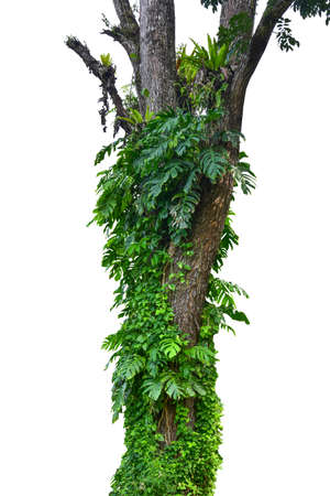Tropical growth of Monstera plant climbing up a massive tree trunk invasive tropical plant with healthy foliage background. isolated on a white background, including clipping paths. HD Image and Large
