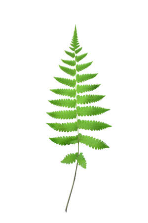 Fern leaf, Ornamental foliage, Fern isolated on white background, HD Image and Large Resolution