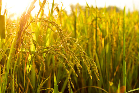 rice seeds in the afternoon, free space for text, HD Image and Large Resolution. can be used as wallpaper