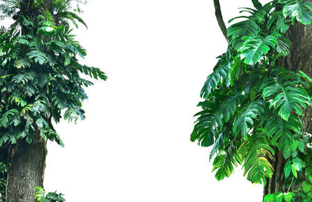 Forest tree trunks with tropical foliage plants, forming a frame in nature, isolated on a white background with a cliping path