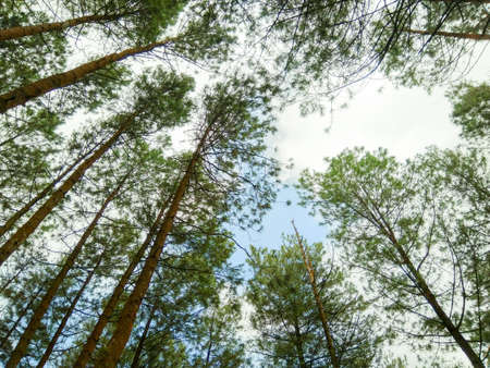 pine trees are seen from below with white clouds and blue sky, free space for text, HD Image and Large Resolution. can be used as wallpaper