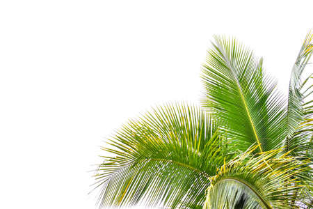 Palm leaf isolated on white background, summer concept, free space for text, clipping path included, HD Image and Large Resolution. can be used as desktop wallpaper