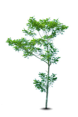 big tree isolated on white background. HD Image and Large Resolution. can be used as background and desktop wallpaper
