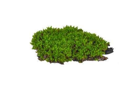 Green moss isolated on white background Imagens