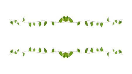 Floral Desaign. Twisted jungle vines liana plant with heart shaped green leaves isolated on white background, clipping path included.