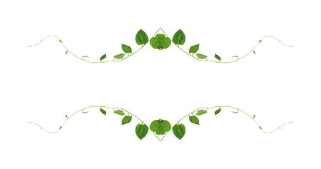 Green leaves nature frame border of devil's ivy or golden pothos the tropical foliage plant on white background