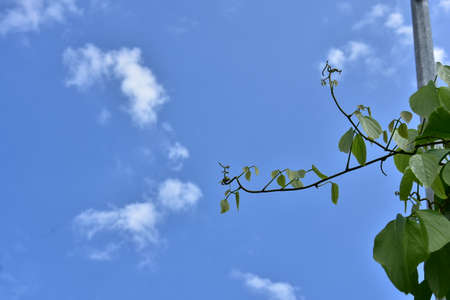 Bush grape or three-leaved wild vine cayratia (Cayratia trifolia) liana ivy plant bush, nature frame jungle border with a blue sky and white clouds as a background Archivio Fotografico