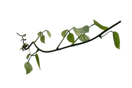 Bush grape or three-leaved wild vine cayratia (Cayratia trifolia) liana ivy plant bush, nature frame jungle border isolated on white background