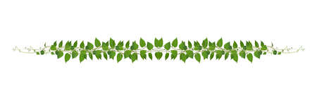 Heart shaped green leaves climbing vines ivy of cowslip creeper (Telosma cordata) the creeper forest plant growing in wild isolated on white background