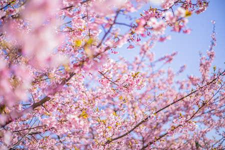 Sakura cherry blossoms in Tokyo, Japan Stockfoto