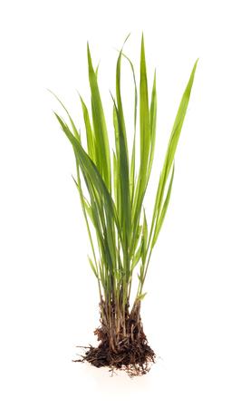 pianta verde su sfondo bianco