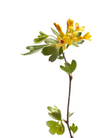 bourgeon: green medicinal plant on white background isolated