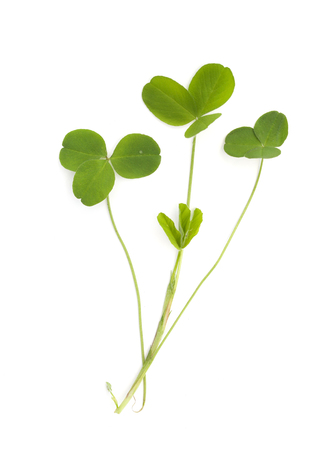 trifolium: green medicinal plant on white background isolated