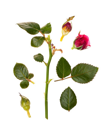 rosebuds: the leaves of roses and rosebuds on a white background isolated