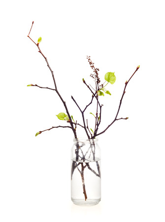 branches with blossoming leaves in the bottle on white background isolated
