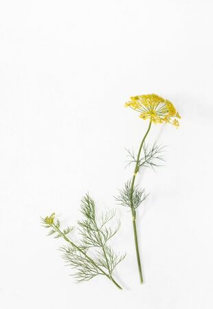 Botanical illustration of plant with flowers and dill sprig on a white isolated. Place for text. Stock Photo
