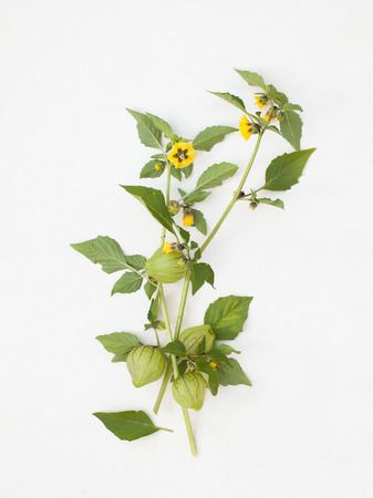 nightshade: Botanical illustration of the plants of physalis fruit and flowers on a white isolated. Place for text. Stock Photo