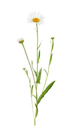 Rośliny na białym tle na białym tle do wstawienia do szablonu projektu. Roślina lecznicza.