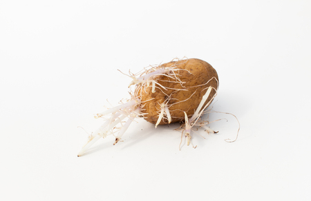 Background image with sprouted potatoes. Place for text. Stock Photo