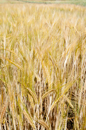 Background image of dry grass. The view from the top. Place for text. Stock Photo