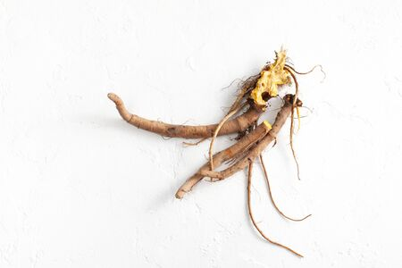 Raw root Rumex crispus (yellow dock) plant is used for infusions and medicinal tea for inflammatory and colds.  Copy space text