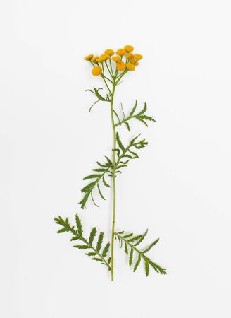 Tansy ordinary with yellow Mature flowers has antimicrobial, anti-inflammatory effect and is used in herbal medicine 版權商用圖片