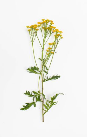 Young tansy plant with yellow flowers cleanses the skin from acne and improves digestion in folk medicine