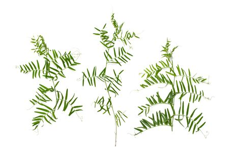 Young Vicky greens (plants vetch) are rich in various vitamins. Mouse peas plant is used in cooking and folk medicine