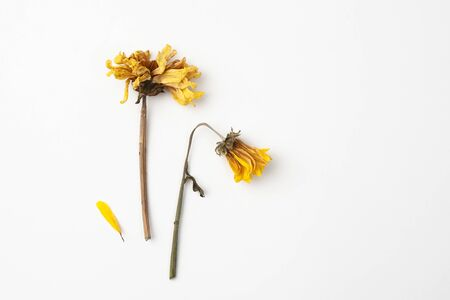 Dry yellow chrysanthemum flowers are used in Parkinson's disease and cosmetology. Copy space text