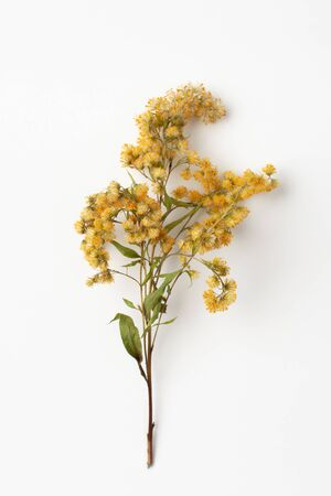 Goldenrod is used in folk medicine in the treatment of bronchitis, prostatitis and diabetes. Normalizes metabolic processes of the body Stockfoto