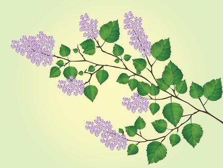ilustracji wektorowych Wiosną kwitnie gałąź bzu