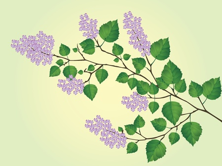 vector illustration of the spring, the blossoming branch of lilac
