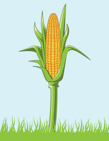 corncob: A vector Illustration of a corncob Illustration