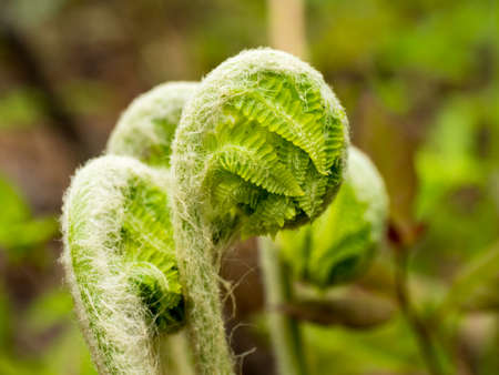 Fiddleheads growing wild in the adirondack mountains in New York. Natural food used in salads. Stock Photo