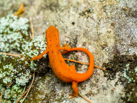 newt: eastern red spotted newt walking along a rock - salamander Stock Photo