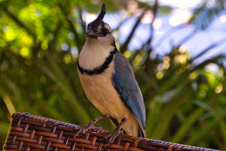 Beautiful bird from costa rica, with a nice toupee. tropical bird with blue wings Stok Fotoğraf