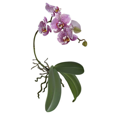 pink orchid: Realistic illustration of phalaenopsis and a branch of lilac spotted flowers, leaves and roots