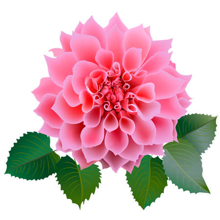 Realistic pink chrysanthemum or dahlias flower with four leaves. Close-up. Vector