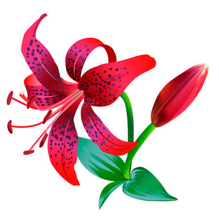 tiger lily: Realistic illustration of red tiger lily isolated on white background. One flower, bud and several leaves.