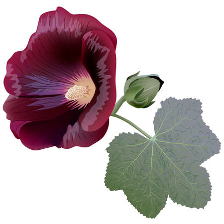Realistic illustration of claret mallow flower (alcea) isolated on white background. One flower, bud and leaf. Vector