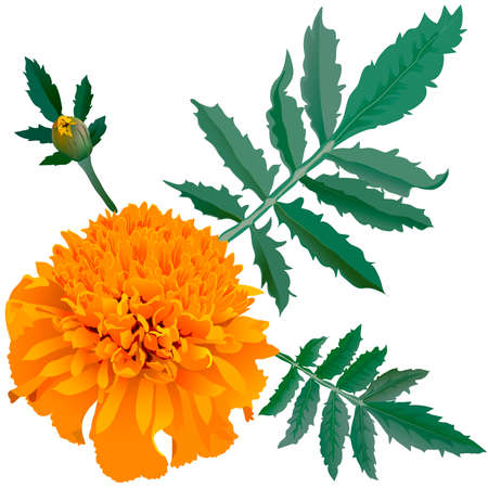Realistic illustration of orange marigold flower (Tagetes) isolated on white background. One flower, bud and leaves.