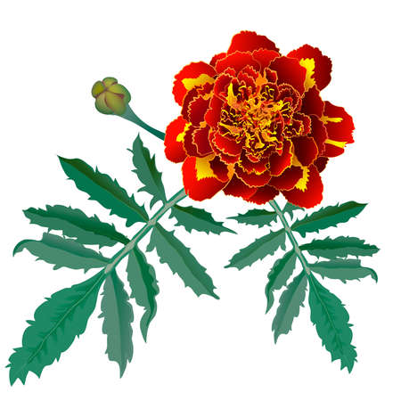 tagetes: Realistic illustration of red marigold flower (Tagetes) isolated on white background. One flower, bud and leaves.