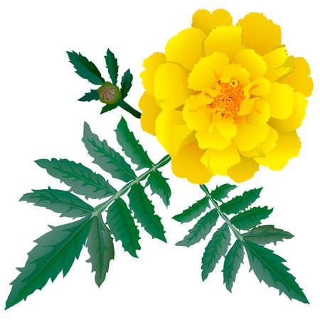 marigold: Realistic illustration of yellow marigold flower (Tagetes) isolated on white background. One flower, bud and leaves. Illustration